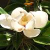 msgnolia granfiflora