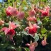 Fuchsia hybrida (pendientes de la reina)