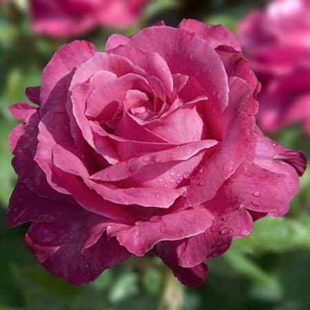 Rosal repetitivo perfumado de flor grande Capricho