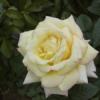 Rosal repetitivo perfumado Mme. A. Meilland