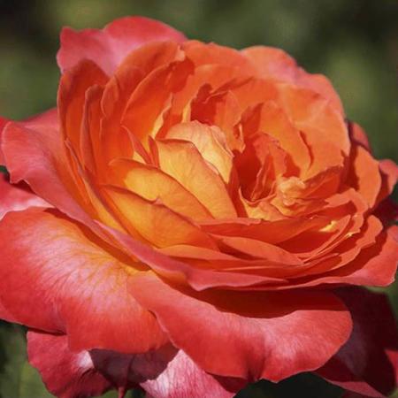 Rosal repetitivo perfumado Betina