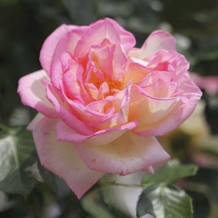 rosal perfumado princesse de monaco