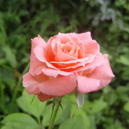 rosal repetitivo perfumado