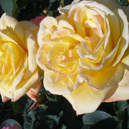Rosal repetitivo perfumado Solei