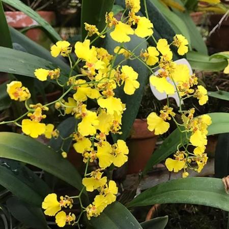 Orquídea Oncidium, bailarinas del aire