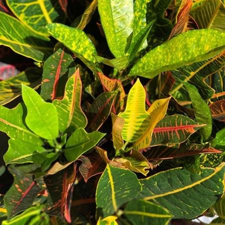 Crotón - Codiaeum variegatum