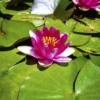 flor del nenufar