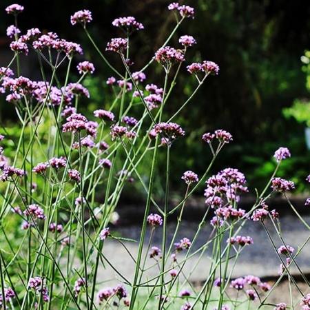 Verbena bonariensis Verbena de Buenos Aires