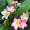 Plumeria rubra o también conocida por el nombre de Frangipani