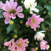 crisantemo de margarita