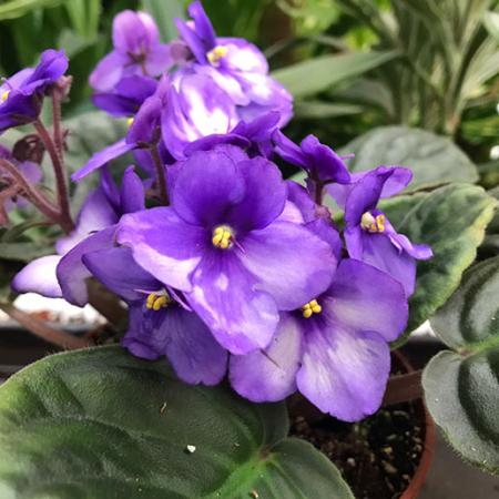 san paulina o violeta africana