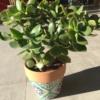 Crassula ovata o árbol de jade
