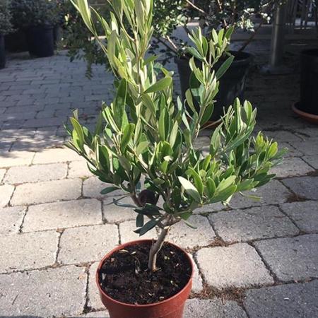 olea europea olivo de copa mini