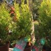 Punica granatum Granado enano