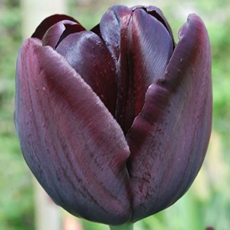 Tulipan Queen of Night