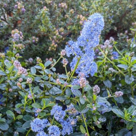 Ceanothus variegata