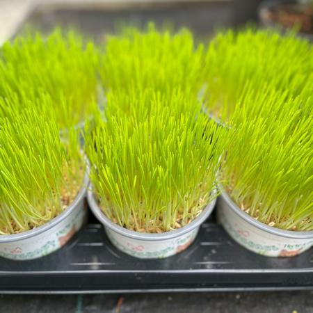 hierba purgante para gatos