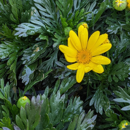 Euryops pectinatus Margarita amarilla