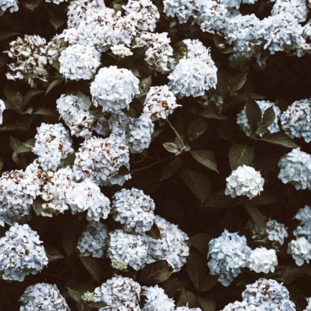 Hydrangea arborescens - Hortensias