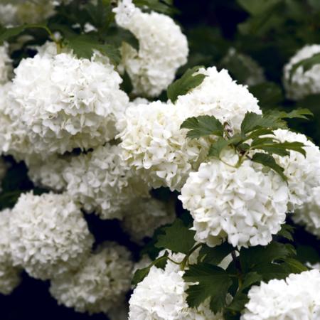 hydrangea quercifoia