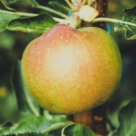 Manzano Reineta