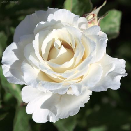 rosal alba garcia