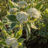 cornus variegata