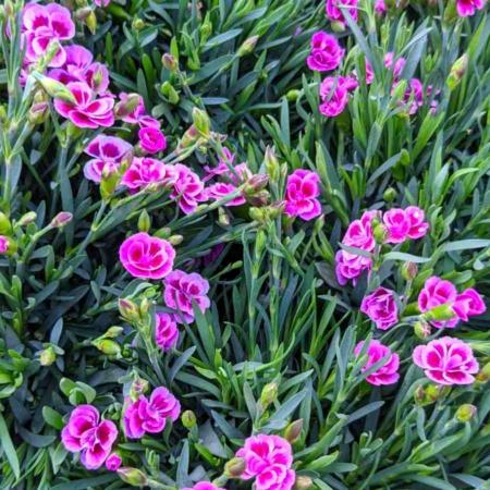 Dianthus Clavel o Clavelina