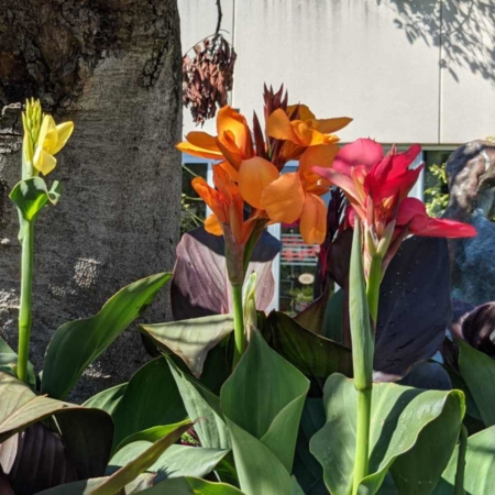 Canna indica-hybrida 'Hoja Verde' Caña de las Indias
