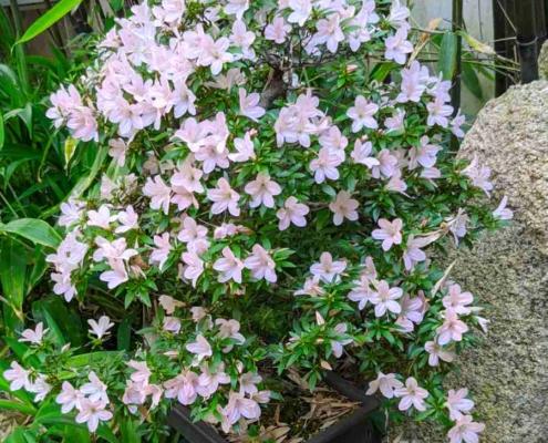Bonsái azalea en flor