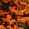 Cosmos mandarín (Cosmos sulphureus)