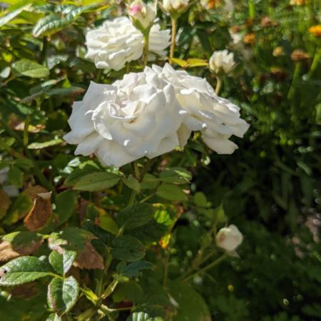 rosal blanco