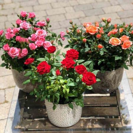 Rosal mini o rosal de pitimini