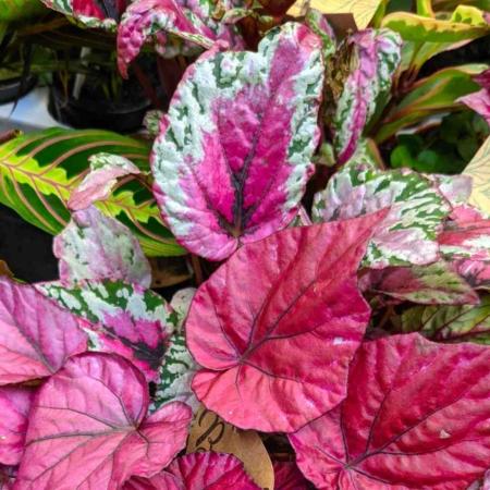 Begonia belef