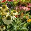 Echinacea summer colors