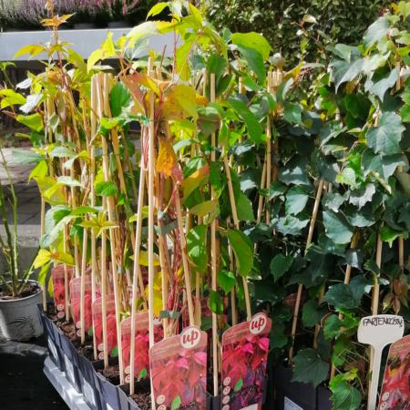 Parthenocissus quinquefolia - Parra virgen