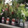 rosales trepadores