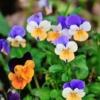 El pensamiento salvaje (Viola tricolor)