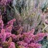 Brezo es el nombre que reciben las ericas y callunas, dos géneros de arbustos de hermosa y abundante floración en los meses más frís del añ